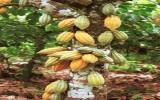 Phát triển mô hình trồng xen cây ca cao trong vườn điều