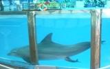 Lần đầu tiên cá heo sinh con tại Việt Nam