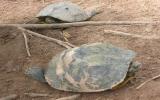 Xuất trả về Mỹ 40 tấn rùa tai đỏ có hại
