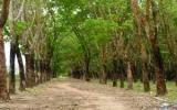 Khiếu nại của bà Ngô Thị Triên, TT.Mỹ Phước, huyện Bến Cát: Cấp GCN quyền sử dụng đất rừng sản xuất