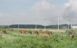 Những khu dân cư dùng để... thả bò !