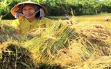 Giá lúa, gạo ở đồng bằng sông Cửu Long tăng cao