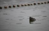 Nỗ lực quây bắt Rùa hồ Gươm