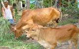 Phát triển đàn trâu, bò ở Bình Dương: Giúp nông dân giảm nghèo