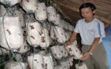 Phú Giáo: Hiệu quả bước đầu từ dự án phát triển nghề trồng nấm