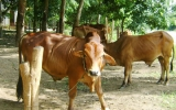 Chương trình phát triển đàn trâu, bò: Cần thay đổi tập quán chăn nuôi nhỏ, lẻ của nông dân!