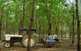 Phòng bệnh Corynespora trên cây cao su: Kinh nghiệm từ Phú Giáo