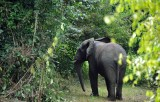 Côte d'Ivoire cảnh báo nguy cơ loài voi biến mất ở quốc gia này