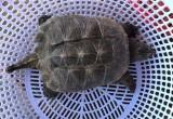 Ngư dân bắt được rùa nước ngọt lớn nhất thế giới tại Bình Định