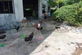 Xử lý tình trạng nuôi gà chọi