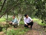 Vùng chuyên canh cây có múi ngày càng nâng cao giá trị