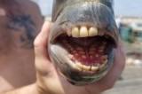 Kỳ lạ con cá có miệng đầy răng giống người ở bờ biển Bắc Carolina