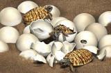 Trứng hóa thạch vẫn còn phôi thai của loài rùa khổng lồ thời tiền sử