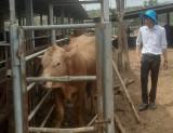 Nỗ lực kiểm soát dịch bệnh trên đàn gia súc