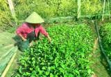 """Hội LHPN xã An Linh (huyện Phú Giáo): Thu hoạch """"Vườn rau nghĩa tình"""""""