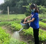 Vườn rau thanh niên phòng, chống Covid-19