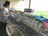 Tăng thu nhập từ mô hình nuôi thỏ sạch